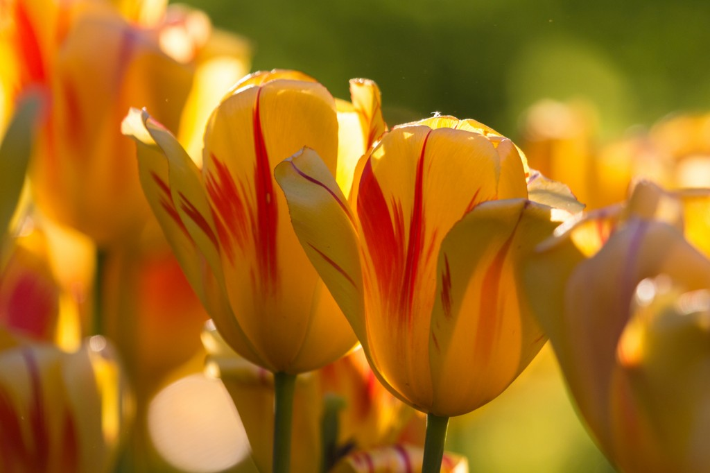 William Bailey Travel Explores Top Tulip Festivals